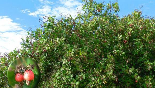 သီဟိုဠ် - လူသားတိုင်းအတွက် လိုအပ်တဲ့ ဗီတာမင်နှင့် သတ္တုဓာတ်များ ပါဝင်တဲ့ စိမ်းစို လှပပြီး ဆွဲဆောင်မှု ရှိတဲ့ အပင်