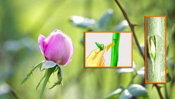 နှင်းဆီများ မျိုးပြန့်ပွားခြင်း