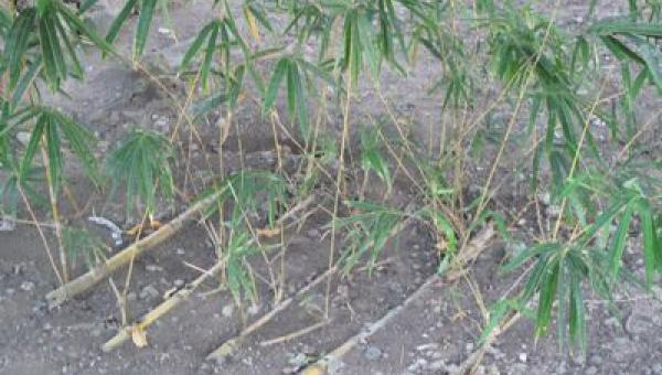 ဝါးအဆစ်များမှ စိုက်ပျိုးနည်း