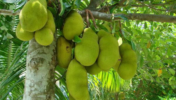ပိန္နဲစိုက်ပျိုးရေး