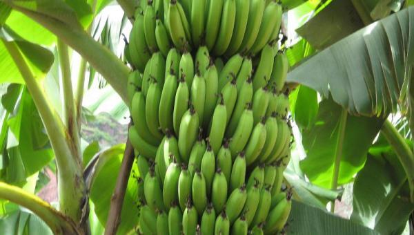 ငှက်ပျော စနစ်တကျ စိုက်ပျိုးနည်း
