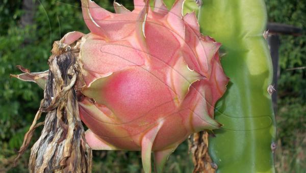 နဂါးမောက်စိုက်ပျိုးခြင်း - ဦးကျော်နိုင် (အပိုင်း ၁/၅)
