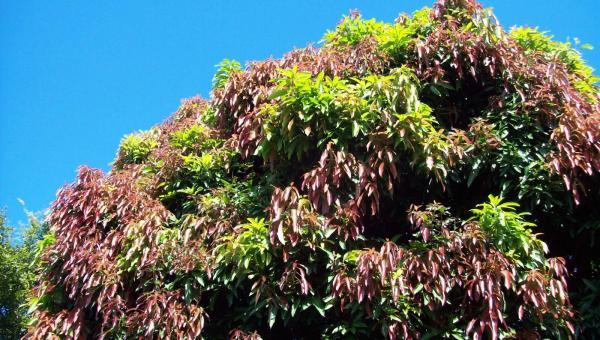 သရက်ပင် အပင်ဟုန် အပင်နုံ၍ အသီးမတင်ခြင်း