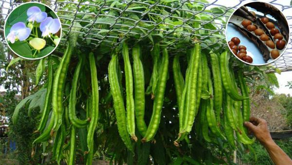 ပဲစောင်းလျားသီး (သို့) ပဲမြစ်စိုက်ပျိုးနည်း