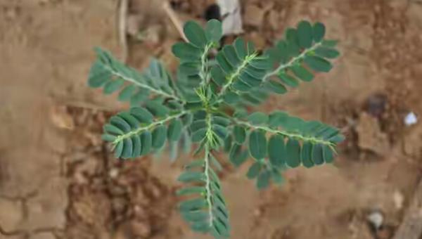 မတ်ပဲ စိုက်ခင်းတွင် ပေါက်ရောက်တတ်သော ပေါင်းပင်များနှင့် ကာကွယ် နှိမ်နှင်းနည်းများ
