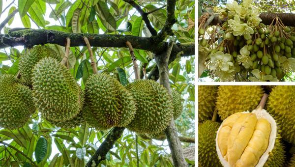 အာဟာရဓာတ်ပါဝင်မှုမြင့်မားတဲ့ ဒူးရင်းသီး စိုက်ပျိုးနည်း