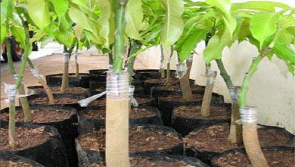 အကိုင်းဆက်၊ အဖူးမြှုပ် မျိုးပွားနည်းများဖြင့် သရက်ပျိုးပင် ထုတ်လုပ်ခြင်း