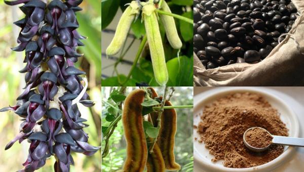 ခွေးလှေးယားပင် စိုက်ပျိုးနည်း