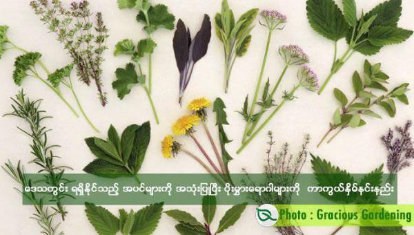 ဒေသတွင်းရရှိနိုင်သည့် အပင်များကို အသုံးပြုပြီး ပိုးမွှား ရောဂါများ ကာကွယ်နှိမ်နင်းနည်း