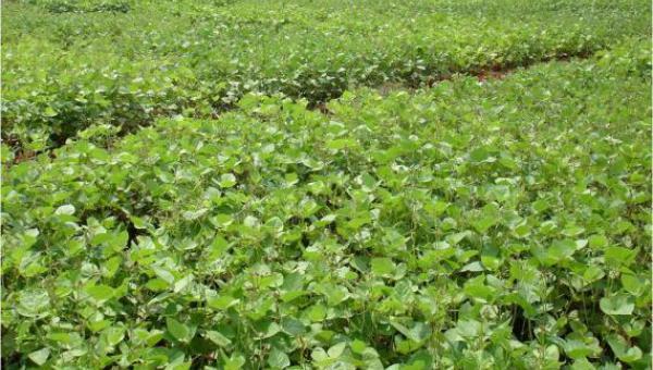 စရိတ်ကုန်သက်သာ ပဲမျိုးစုံအထွက်တိုး စိုက်ပျိုးနည်းပညာ