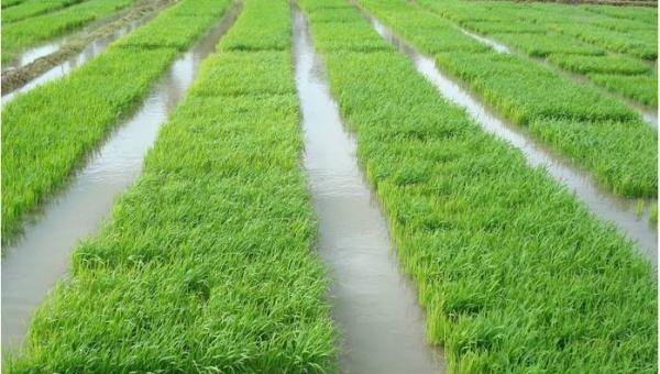 မိုးနည်းရေရှားဒေသများအတွက်သင့်လျော်သောနွေ/မိုး စပါးစိုက်ပျိုးနည်းစနစ်များ (ပျိုးထောင်စိုက်စနစ်)