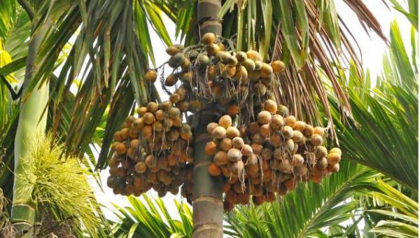 ပုံမှန်ဝင်ငွေရနိုင်သော ကွမ်းသီးပင်