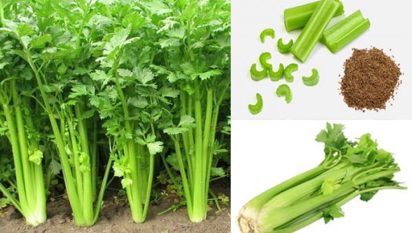 တရုတ်နံနံ စိုက်ပျိုနည်း (Celery cultivation)