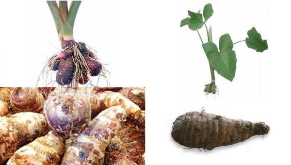 ပိန်းဥ စိုက်ပျိုး ထုတ်လုပ်နည်း