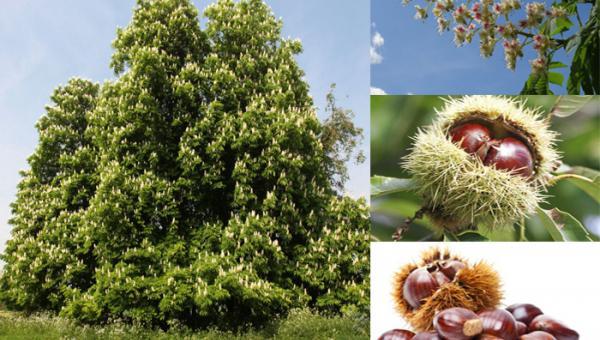 သစ်အယ်သီးပင် စိုက်ပျိုးနည်း