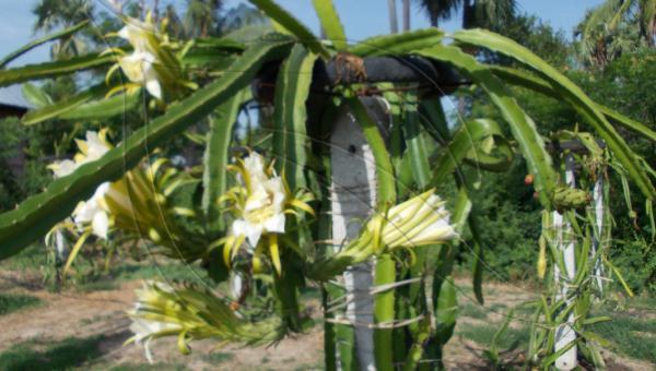 နဂါးမောက်စိုက်ပျိုးခြင်း - ဦးကျော်နိုင် (အပိုင်း ၄/၅)