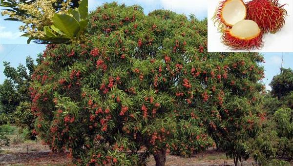 ကြက်မောက်သီး စိုက်ပျိုးနည်း
