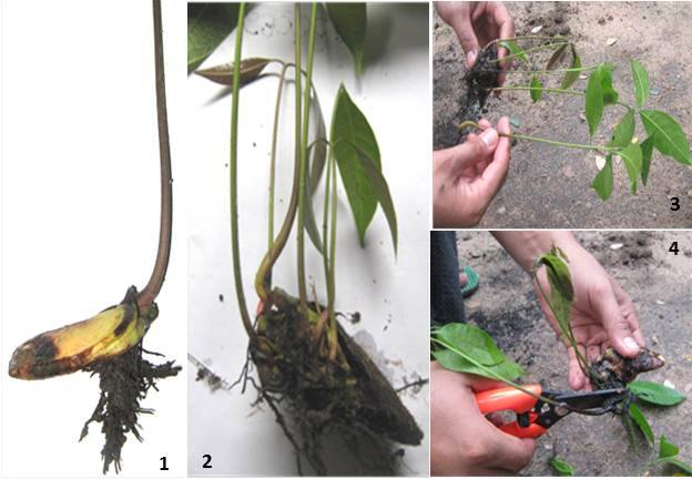 သရက်ပင်အား မျိုးပွားစိုက်ပျိုးခြင်း