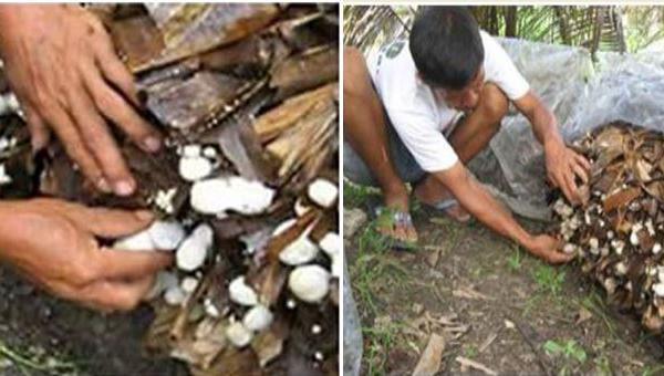ကောက်ရိုးမှိုကို ငှက်ပျောရွက်ခြောက်ဖြင့်စိုက်ပျိုးနည်း