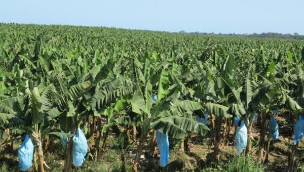 ငှက်ပျော စိုက်ပျိုးနည်း