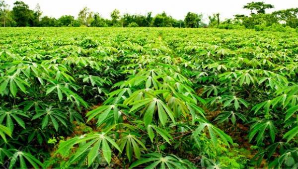 ပီလောပီနံ စိုက်ပျိုးနည်း