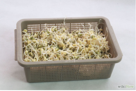 Grow Bean Sprouts Indoors Step 13.jpg