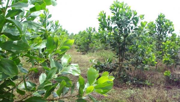 မန်ဂျန်ရှား စိုက်ပျိုးနည်း၊ အပင်ပြုစုထိန်းသိမ်းနည်းနှင့် အသုံးဝင်ပုံများ