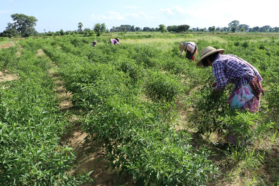 လယ်ယာကဏ္ဍ ဖွံ့ဖြိုးရေးလုပ်ငန်းများကို အပူပိုင်းဇုန်ဒေသများတွင်း ဦးစားပေးဆောင်ရွက်မည်