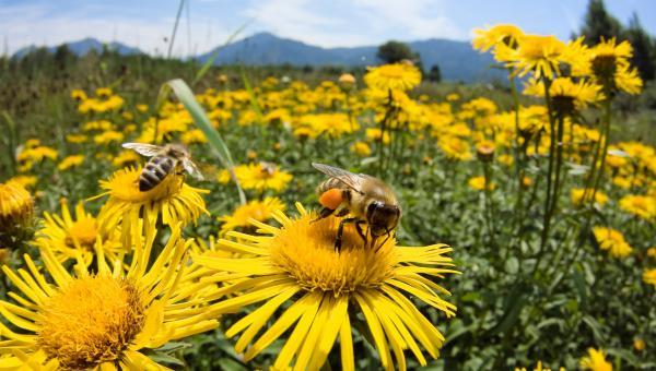 """""""ပျား""""များကို ပိုးသတ်ဆေးအန္တရာယ်မှ ကာကွယ်နိုင်မည့် နည်းလမ်းများ"""