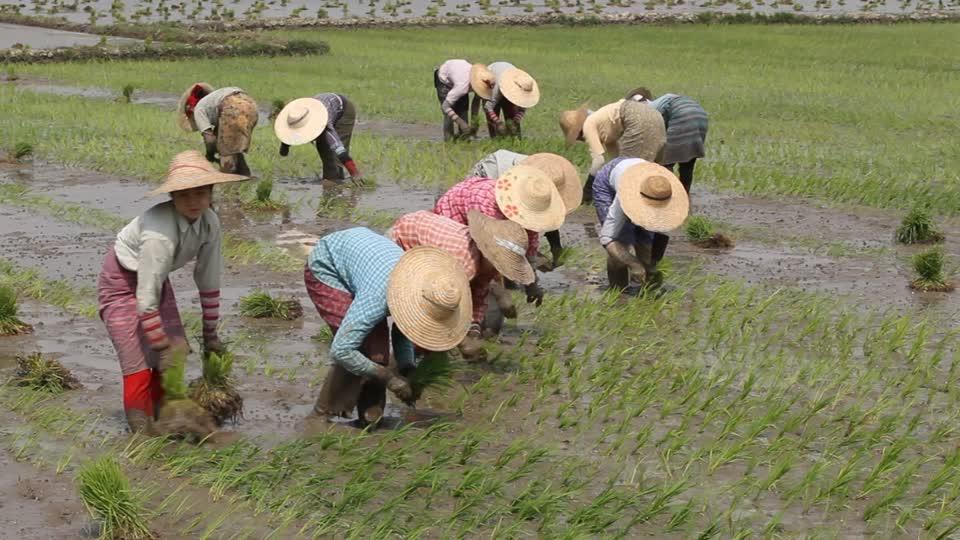 ရေကြီးနစ်မြုပ်လယ်မြေများ စပါး ပြန်လည်စိုက်ပျိုးရေး