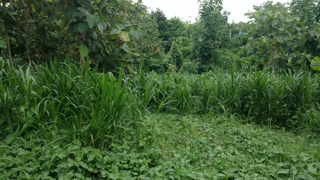 နို့စားနွားများအတွက် မြက်မျိုးနွယ်ဝင် စားကျက်ပင် (၁)