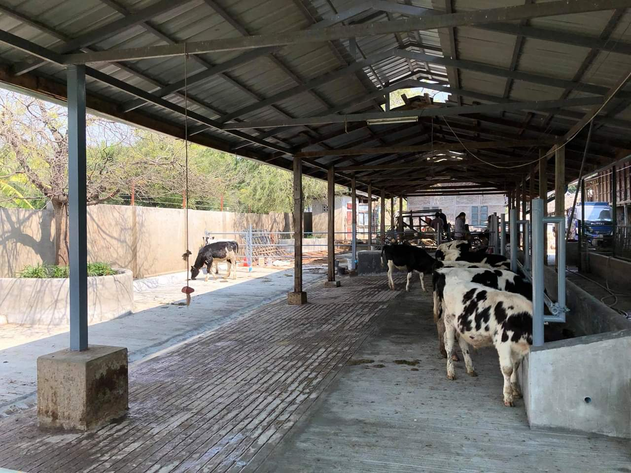 တရုတ်နိုင်ငံကုန်သို့ ကျွဲ၊ နွား အပတ်စဉ်ကုန်သွယ်မှု ပြန်လည်စတင်