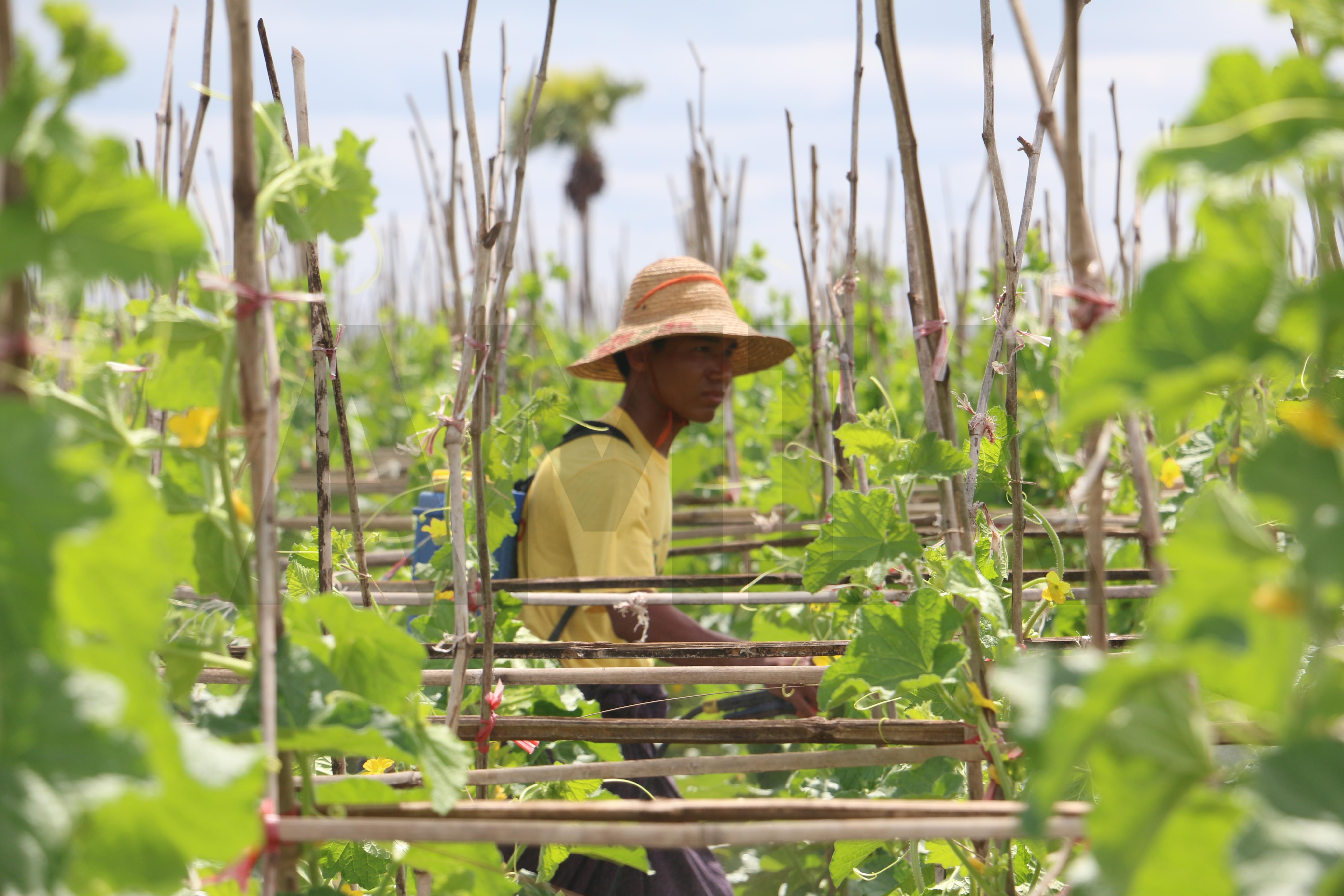 ဖရဲ၊ သခွား စိုက်ပျိုးထုတ်လုပ်မှု အချက်အလက်များ သုတေသနပြု ကောက်ယူသွားမည်