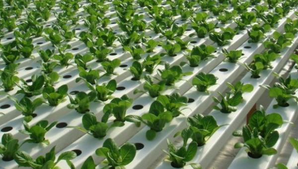 အာဟာရပျော်ရည်ဖြင့်စိုက်ပျိုးခြင်း နည်းပညာ
