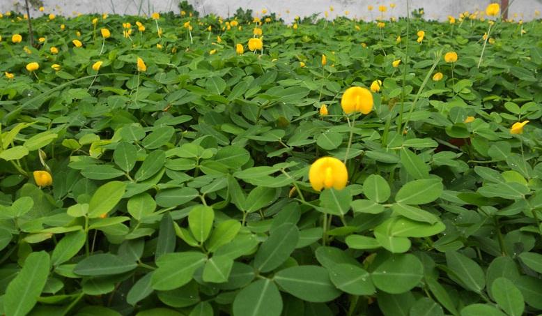 စားကျက်ပင်အတွက် Arachis Pantoi (ပဲပန်းပင်) စိုက်ပျိုးခြင်း