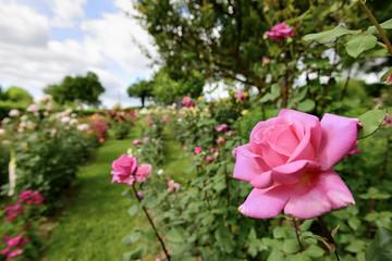 နှင်းဆီလှလှလေးတွေစိုက်လို့ ဘဝအမောတွေဖြေဖျောက်ကြပါစို့..