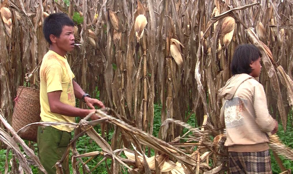 အစေ့ထုတ်ပြောင်း စိုက်ပျိုးထုတ်လုပ်မှုဆိုင်ရာ စီမံကိန်း ဆောင်ရွက်မည်