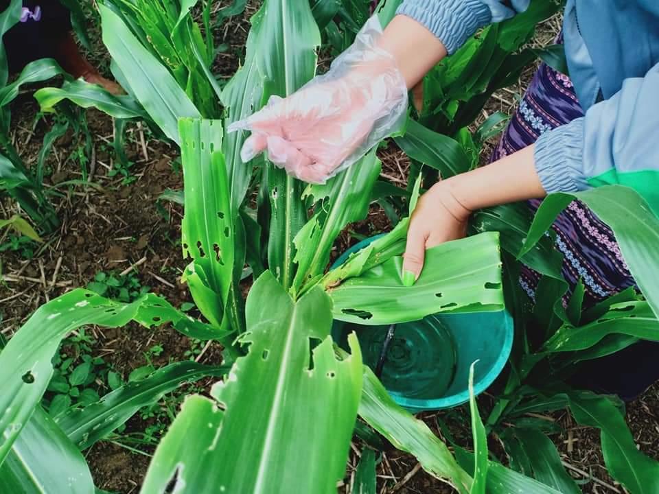 စိုက်ခင်းများတွင် ငမြှောင်တောင်ပိုး တွေ့ရှိပါက အကြောင်းကြားရန် ထုတ်ပြန်