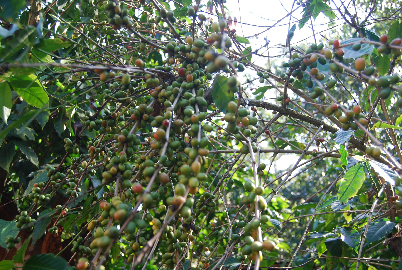 ကော်ဖီပင်ကြား သီးညှပ်စိုက်နိုင်သည့် ယာကွန်ပင် စမ်းသပ်စိုက်ပျိုးမှု အောင်မြင်နေ