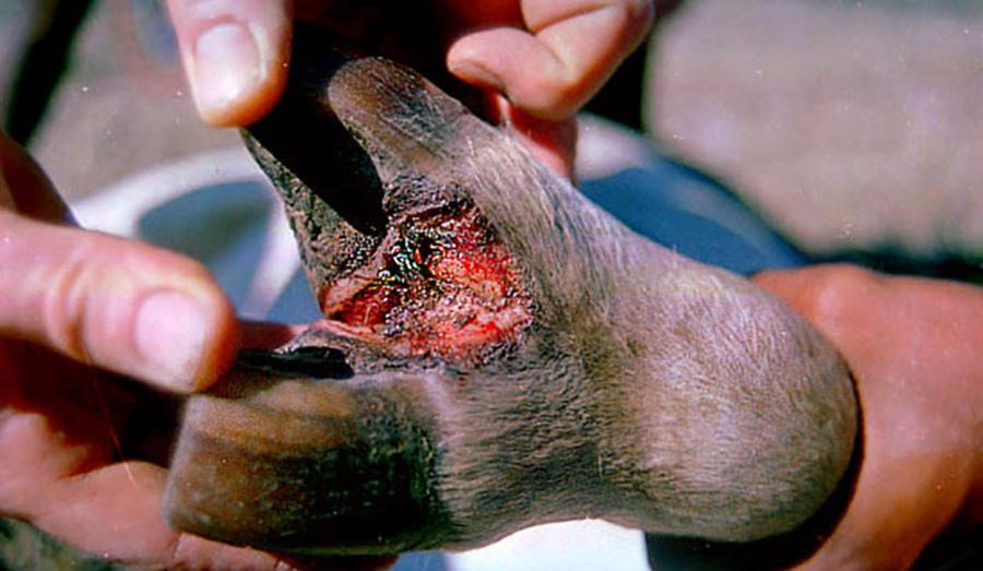 ကျွဲ နွား ကူးစက်ရောဂါကာကွယ်ဆေးများ ပုံမှန်ထိုးနှံရေး နှိုးဆော်ချက်