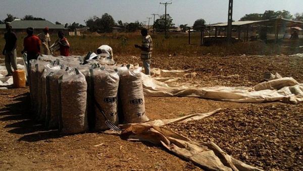 ဂျင်းစိုက်ပျိုးခြင်း/ ရိတ်သိမ်းခြင်းနှင့် ရိတ်သိမ်ပြီးနောက်ပိုင်း လုပ်ငန်းများ