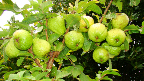 မာလကာသီးပင်တွင် ကျရောက်တတ်သော ရောဂါများနှင့် ကာကွယ်နှိမ်နင်းနည်း