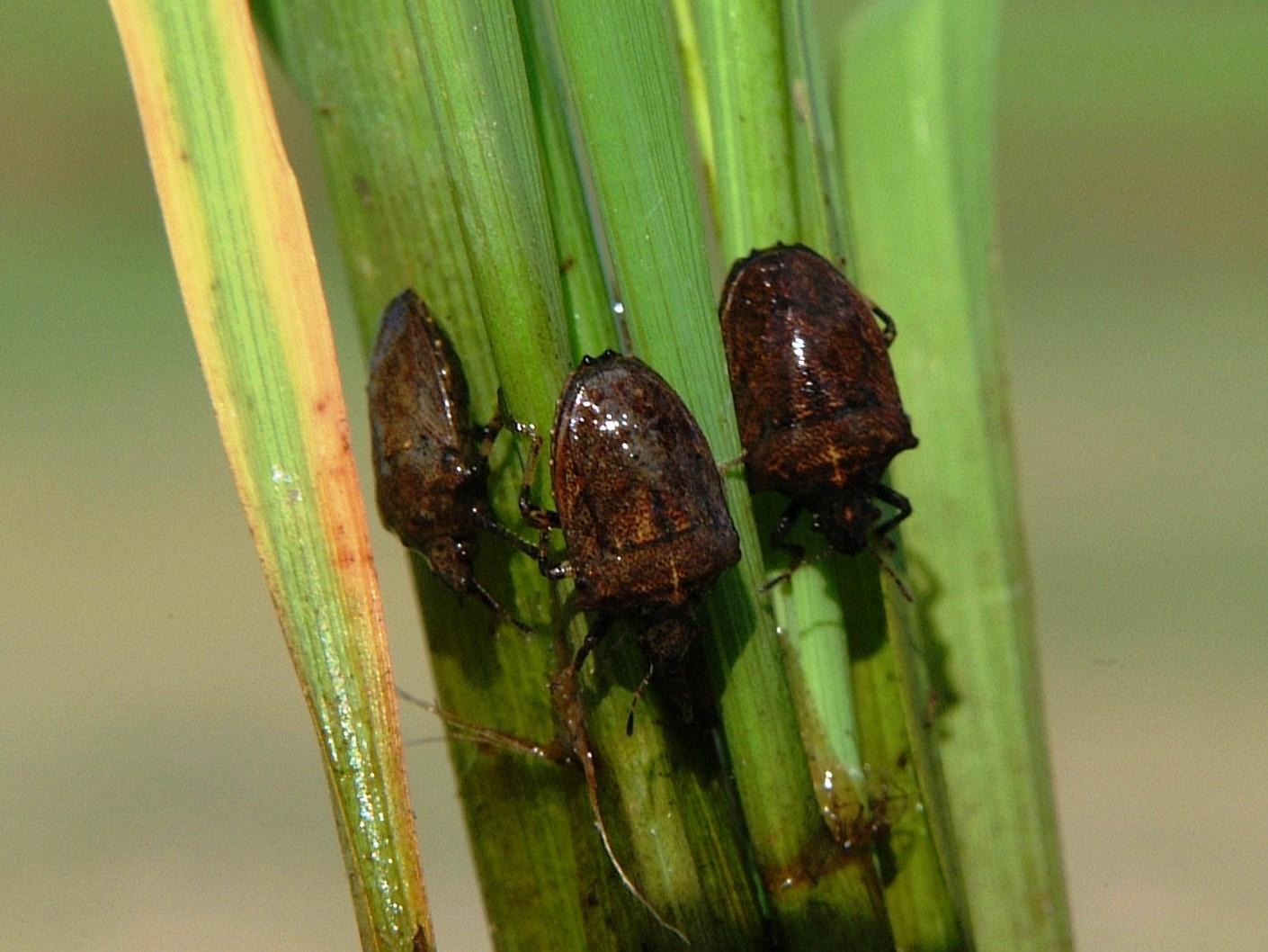 စပါးတွင်ကျရောက်သော ဂျပိုးနက် (Rice Black bugs)