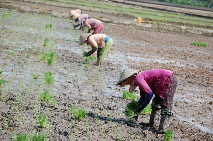 စိုက်ပျိုးရေးတွင် ကျင့်သုံးသင့်သည့် အလေ့အထကောင်းများ (၄)