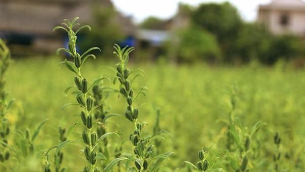 စိုက်ပျိုးထုတ်လုပ်မှုအောင်မြင်ရေးအတွက် အဓိကအချက်များ (နှမ်းလျင်သီးနှံ)