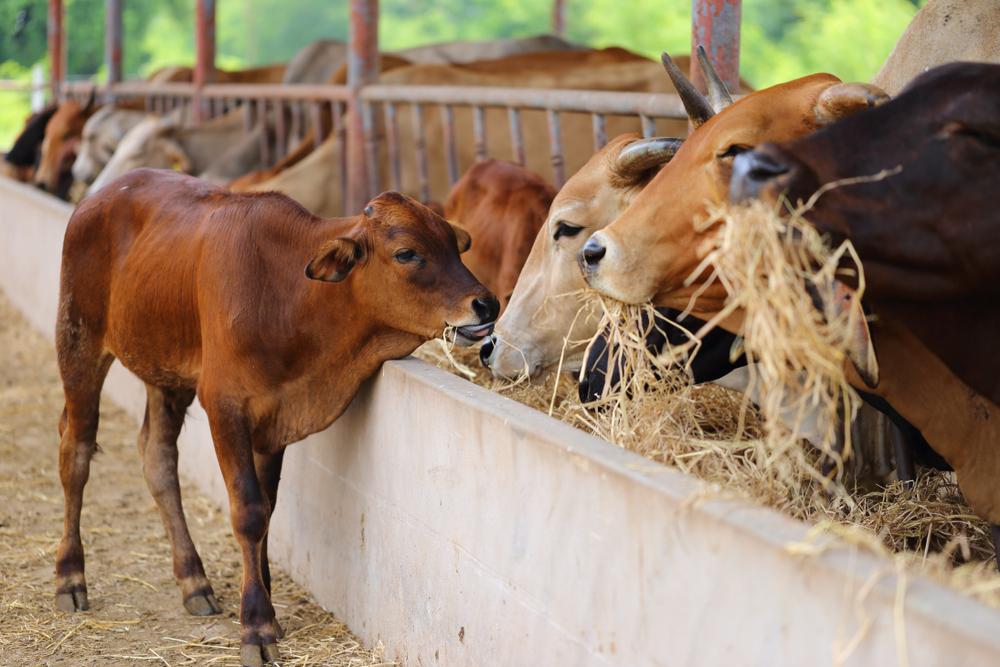 စားမြုံပြန်သတ္တဝါမွေးမြူရေးတွင် Fermented Total Mixed Ration ကျွေးမွေးခြင်းနှင့် ပတ်သတ်သည့် အလုပ်ရုံ ဆွေးနွေးပွဲများကို ရန်ကုန်နှင့်မန္တလေးမြို့များတွင် ကျင်းပသွားမည်။
