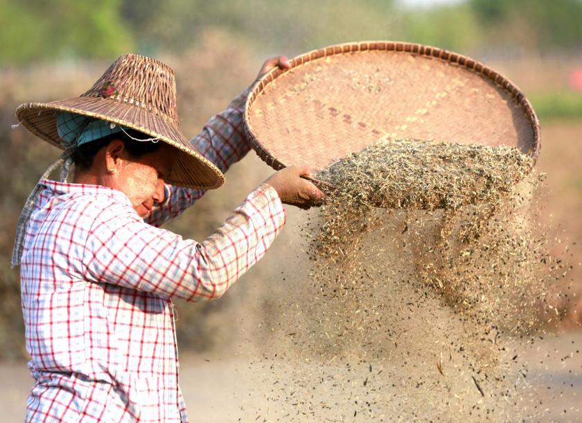 ပဲစဉ်းငုံအသစ်များ ဝယ်လက်များလာမှုကြောင့် ရက်ပိုင်းအတွင်း ဆက်တိုက်ဈေးမြင့်လာ