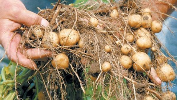 အာလူးစောပင်ကျနာ (လောင်ပြောက်) ရောဂါ (Early blight of Potato)