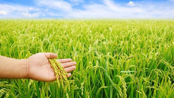 ပြည်ပနိုင်ငံများမှ ဆန်အမှာများလာ၍ လာမည့် စပါးသစ်ပေါ်ချိန် ကုန်သည်များက ကြမ်းခင်းဈေး ပိုမိုပေးဝယ်ယူလာနိုင်
