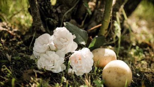 နှင်းဆီပင်ကို အာလူး အသုံးပြု ၍ ပျိုးထောင်ခြင်း